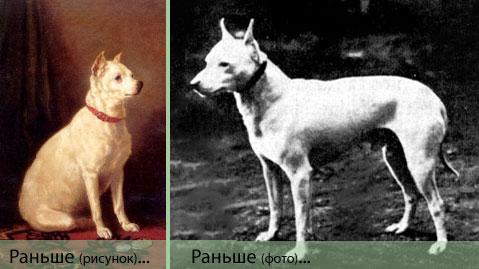 Белый английский терьер (English White Terrier)