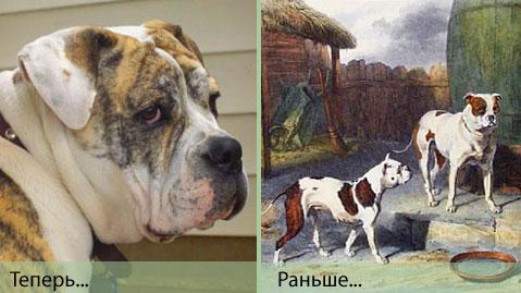 Старый английский бульдог (Old English Bulldog)
